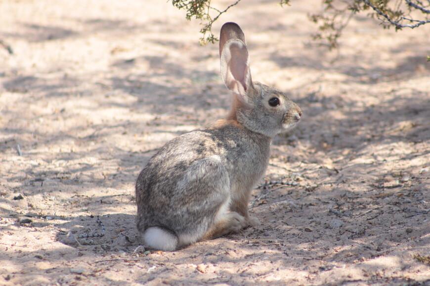 Пустынный заяц