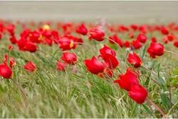В Калмыкии создали «тюльпановый» турмаршрут