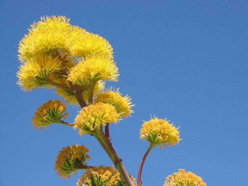 9-цветение агавы.jpg