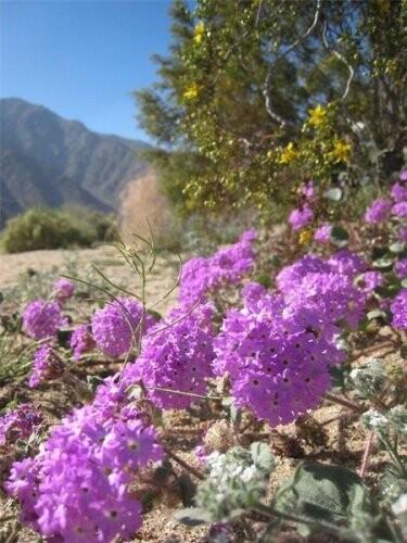 Cvetushhaya-pustynya-v-nacionalnom-parke-Anca-Borrego-granica-SShA-i-Meksiki.jpg