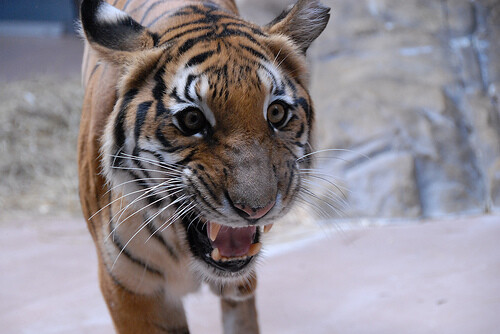 Growling_indochinese_tiger.jpg