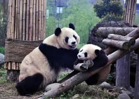 Путешествие к пандам