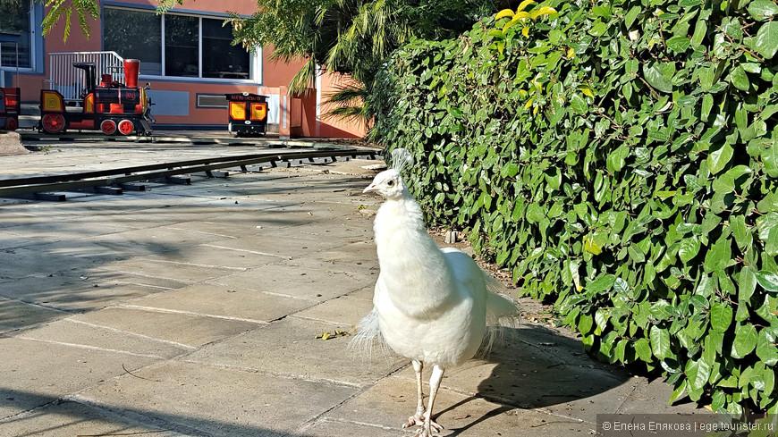 Этого белого павлина мы с трудом фотографировали через забор, за которым была детская железная дорога,