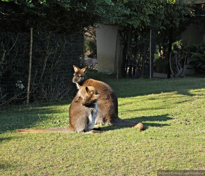 Маленькие кенгуру валлаби казались грустными, но у них была обширная территория.