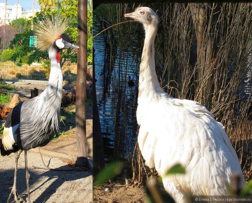 Венценосный журавль и страус. Я не фотографировала птиц в клетках, а эти получились как-будто на свободе.
