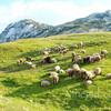 Овцы пасутся в Дурмиторе