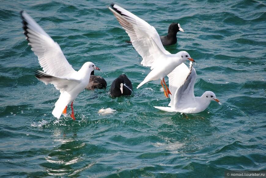 Озерные чайки и лысухи...