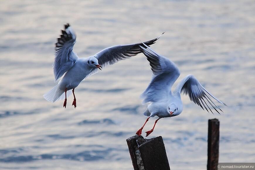 Озерные чайки.