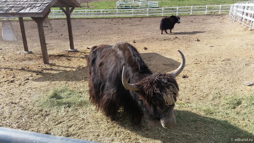 А здесь живет очень дружелюбная семья бизонов