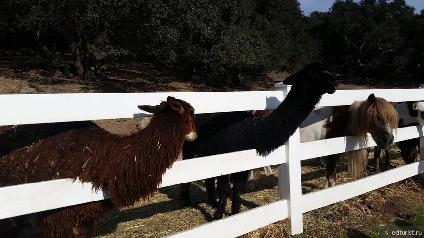 Друзья бизонов: альпака, як и лама