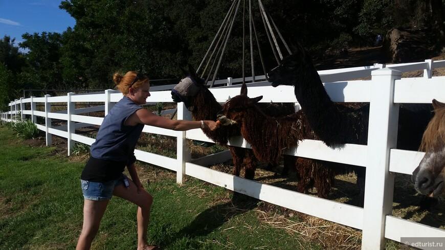 Всех животных на ранчо можно покормить местными овощами