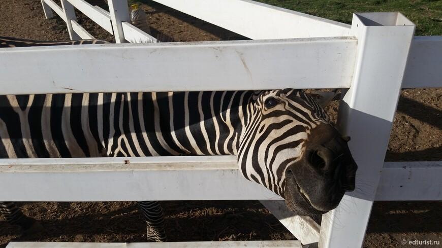 В этом вальере живут три зебры: Тимон, Пумба и Рафик