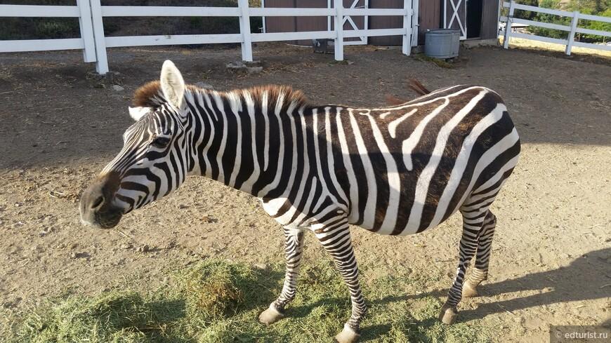 Красивые и очень ухоженные зебры на этом ранчо