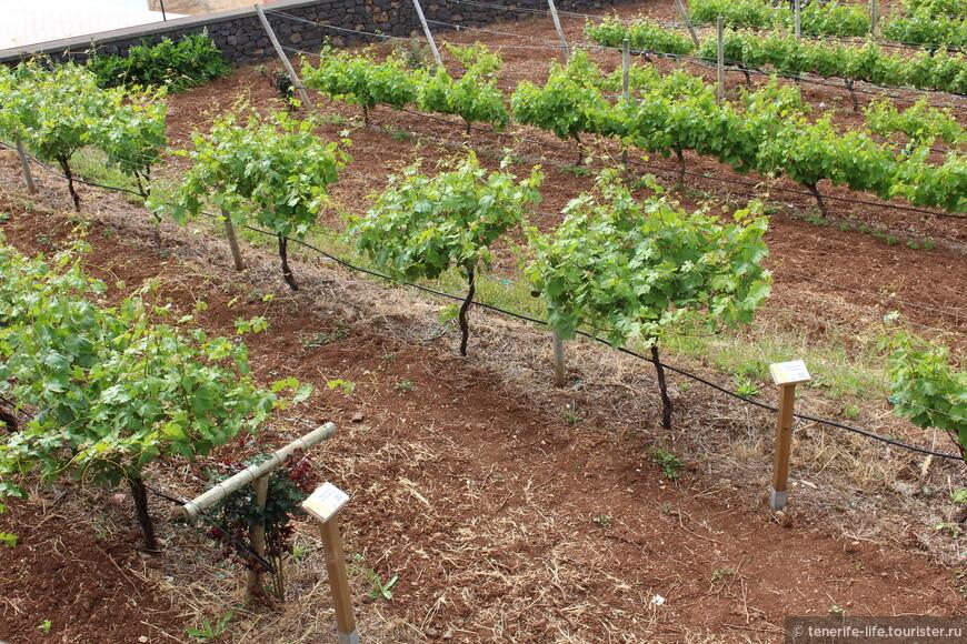 Виноградники!