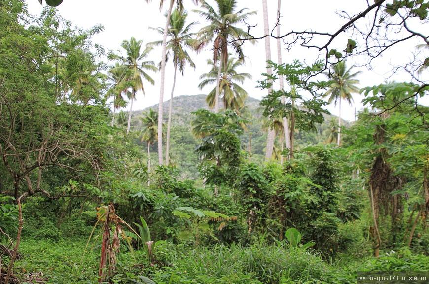 Дикие джунгли. Почему-то много папай растет именно в джунглях.