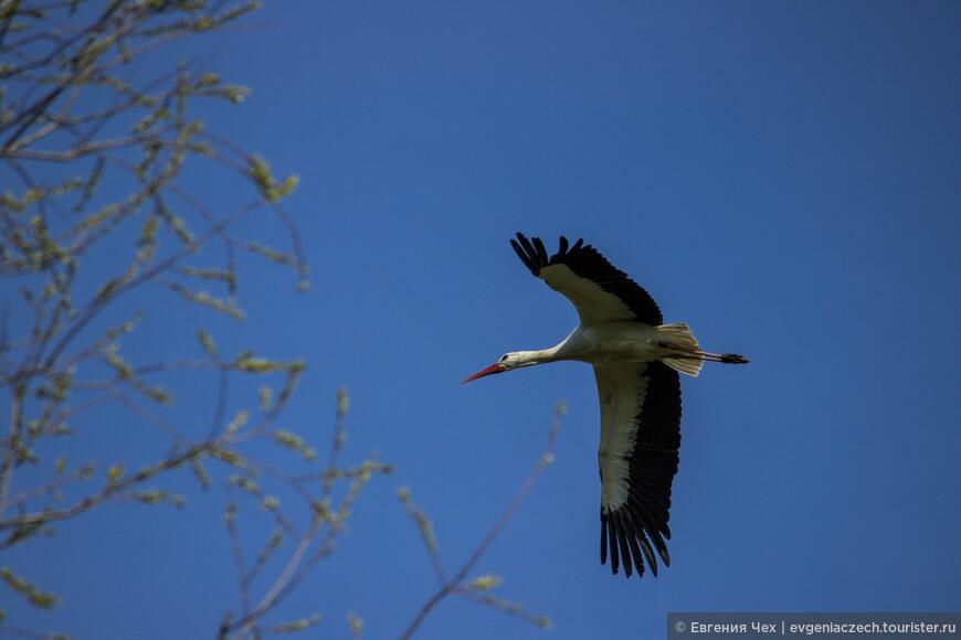 Первыми прилетают самцы, занимают гнезда и ждут прибытия самок.
