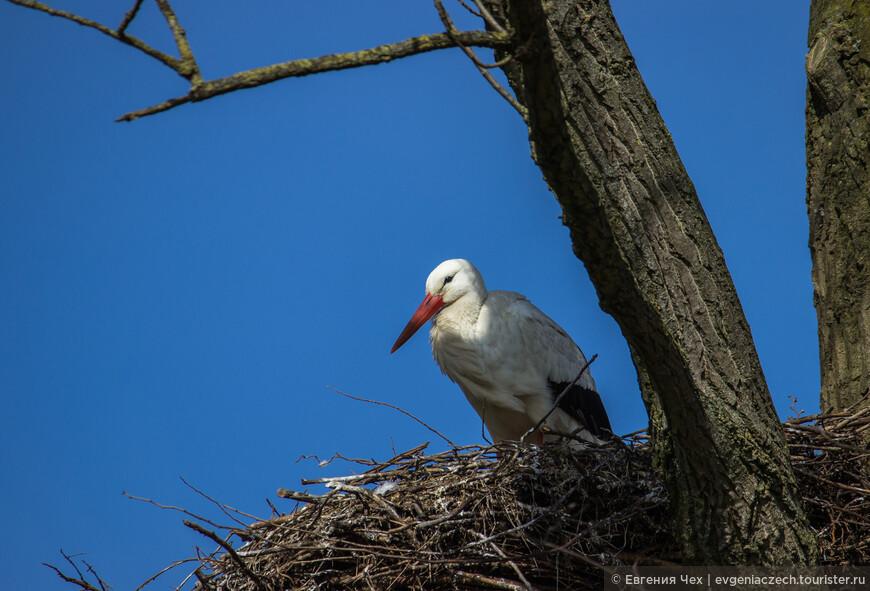 Когда-то в Германии зарегистрировали самое старое гнездо аистов, которое использовалось птицами в течение 381 года. Аисты построили его в 1549 году, а забросили только в 1930 году