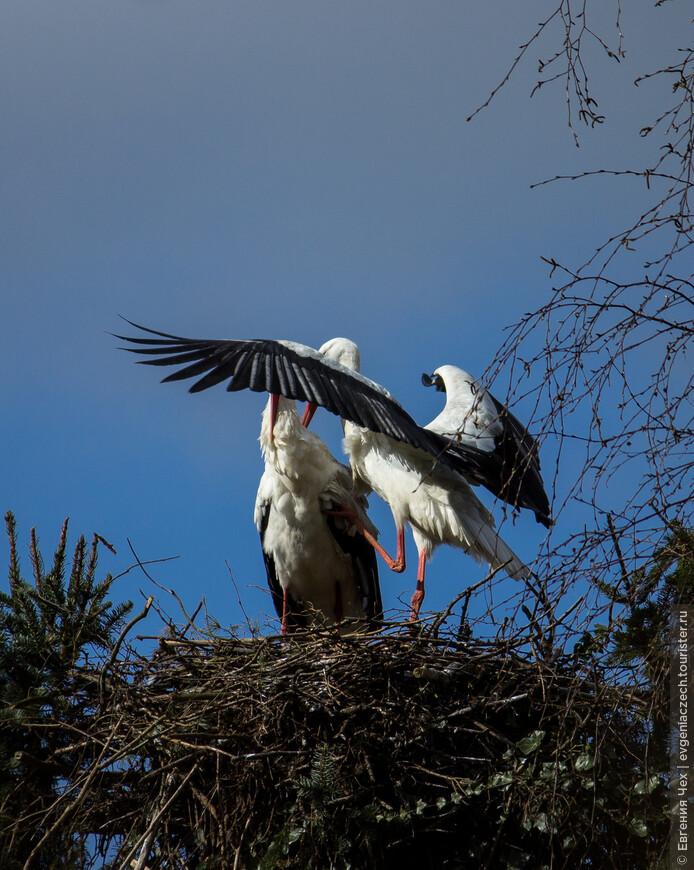 Белые аисты считаются моногамными птицами.
