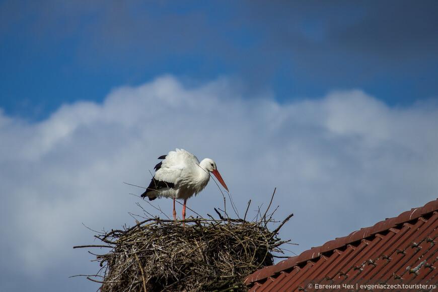 Крупное и массивное гнездо строят оба партнера, из веток, и используют его потом в течение нескольких лет, периодически обновляя. .