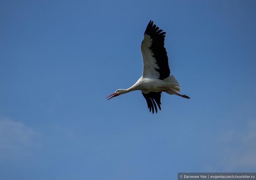 Половозрелыми птицы становятся в среднем на 3 год жизни.