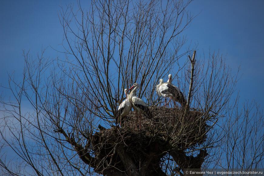 Старые гнезда могут быть очень высокими и тяжелыми (до 250 кг).