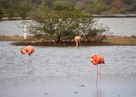 Фламинго давно полюбили Кюрасао, а на острове всячески берегут этих ярких птиц...
