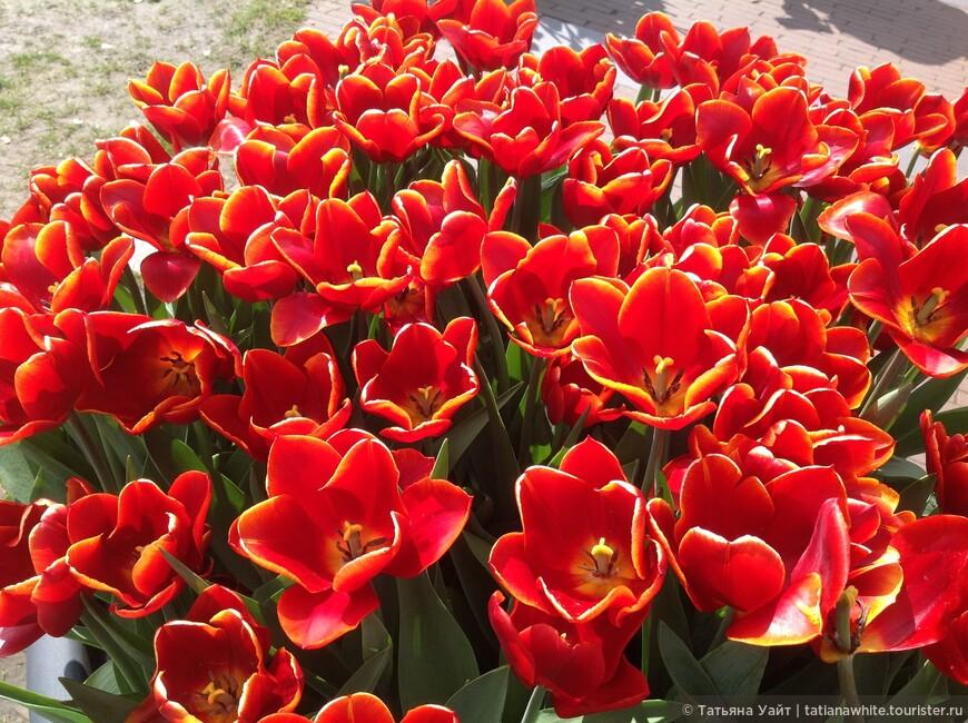 Тюльпаны, ставшие национальной гордостью Голландии