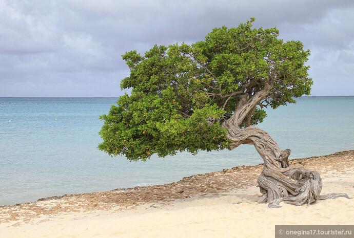 Это диви-диви - самое популярное дерево на Арубе и самый настоящий символ острова. С этим я согласна. И в моей душе начинает все изворачиваться, словно ствол диви-диви, когда меня спрашивают, как мне Аруба...