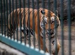 В зоопарке Торонто женщина прыгнула в вольер с тигром