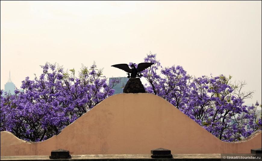 Цветение жакаранды, здорово украшает город.