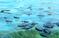 Velella velella - пурпуровые паруса западного побережья Калифорнии