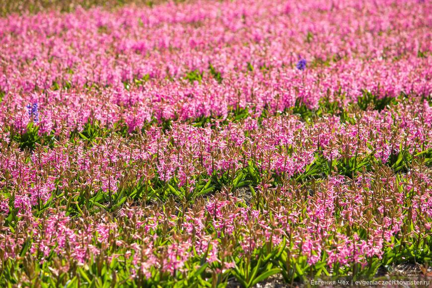 Парад цветов проходит в местах традиционного выращивания тюльпанов и других луковичных цветов