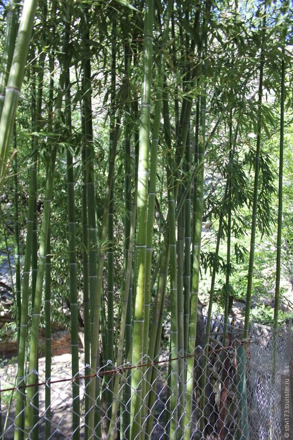 Бамбук в тбилисском Ботаническом Саду