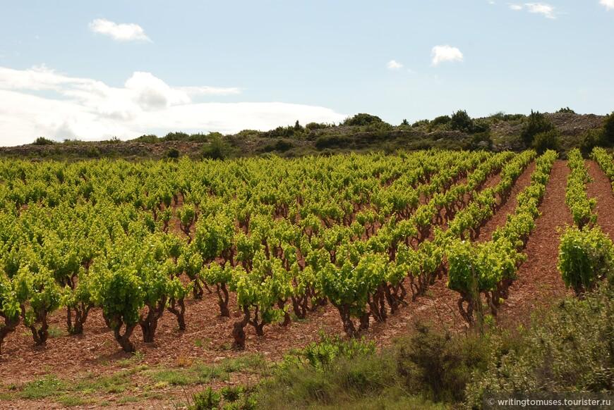 Виноградники в Руссильоне. Корни виноградной лозы достигают нередко до 10 метров.