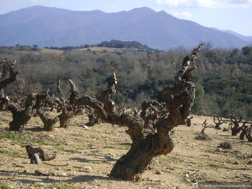 Старые виноградники Аспр, области в Руссильоне.