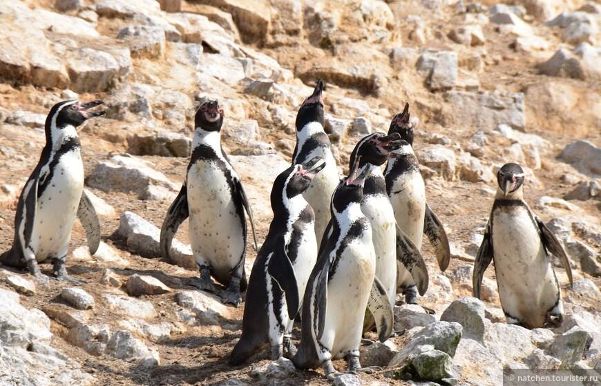 Выживание пингвинов зависит от холодного течения Гумбольдта. Мы попали в период действия феномена Эль-Ниньо, несущего теплые воды и жаркую погоду перуанскому побережью. Так что пингвинов было немного.