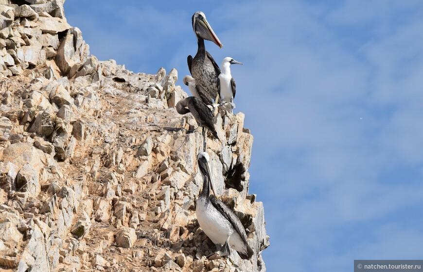 На островах Бальестас птицы очень даже гармонично сосуществуют друг с другом.