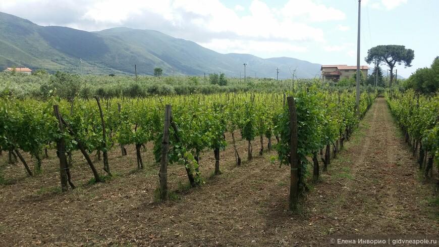 Виноградники Альянико и Пьедироссо высажены у изножья горы Массико