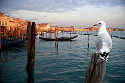 Венеция будет бороться с чайками