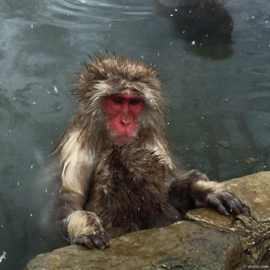 Горячие источники для обезьян в префектуре Нагано.  Порой самому хочется присоединиться  к обезьянкам.