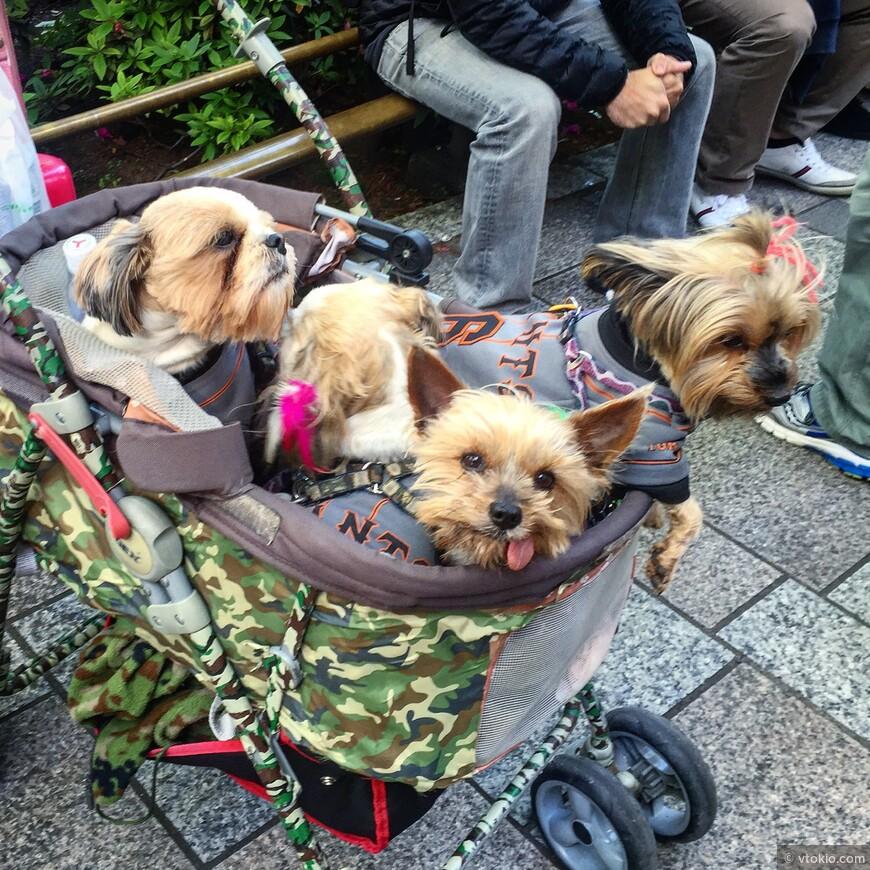 Домашние животные зачастую в японских семьях занимают более привелегированные позиции, чем некоторые другие члены семейства )