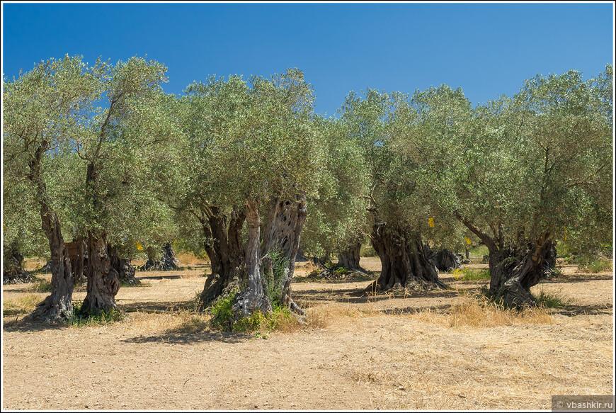 Древняя оливковая роща. Некоторым деревьям по 700-800 лет. Полуостров Кормакитис.
