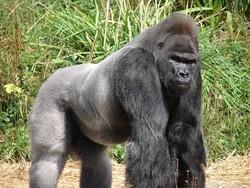 В зоопарке США застрелили гориллу, чтобы спасти ребенка