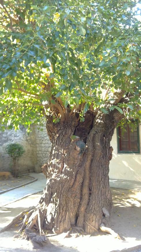 Кухонный дворик. Это дерево помнит крымских ханов.