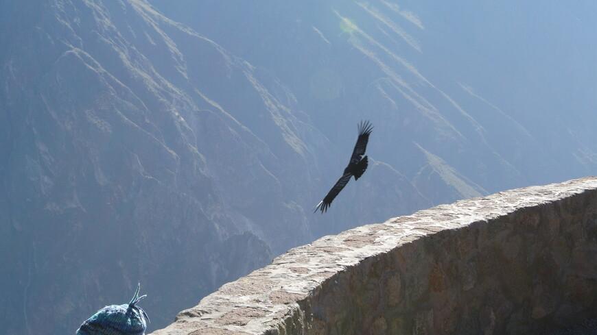 Каньон Колка. А́ндский ко́ндор — птица из семейства американских грифов, единственный современный представитель монотипичного рода кондоров. Распространён в Андах и на тихоокеанском побережье Южной Америки.