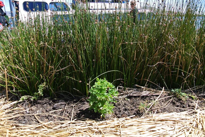И конечно же картофель, куда в ЮА без него! Выращивают даже на плавучих островах.