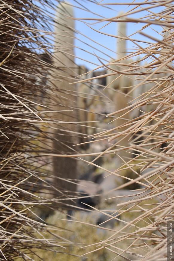 Единственное растение солончака это гигантские кактусы (Echinopsis atacamensis). Древовидное растение с редкими боковыми побегами, из-за чего иногда принимает форму канделябра. Достигает 10 м. в высоту. Стволы цилиндрические, до 70 см в диаметре. Количество рёбер от 20 до 30. Ареолы большие, круглые, плотные, коричневые. Количество колючек на ареоле 50—100, без четкого разграничения на центральные и радиальные; разные по размеру и достигают 28—30 см длиной.