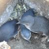 пингвины в домике на острове Филиппа