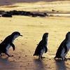 Парад пингвинов на острове Филиппа на 3-х дневном туре из Мельбурна