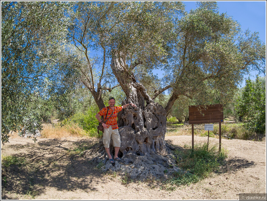 Я и пальма! То есть, не пальма, а оливковое дерево, которому 700 лет!